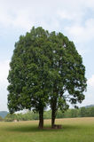 Two trees becoming one. Two great trees becoming one in field Stock Photography