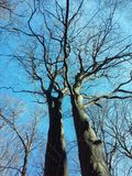Two trees. Blue sky above two trees Stock Photography