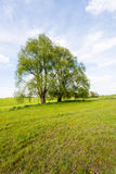 Two trees with budding new leaves stock images