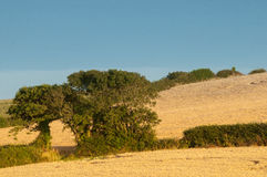 Two trees in a corn field Royalty Free Stock Photo