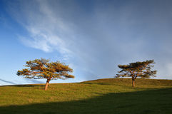 Two trees in the field. And the blue sky Stock Photos