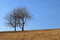 Two trees in a field Stock Image