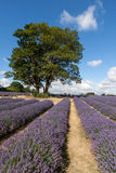 Two trees in a field of Lavender Royalty Free Stock Images