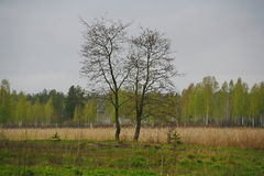 Two trees in the field - a metaphor of love couples. the nature of Northern Russia. landscape desert meadow, understory and field. Stock Photos