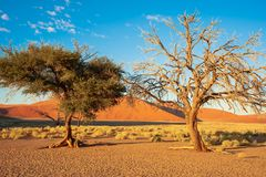 Two trees in front of huge orange dune in Namibia. Dune in Namib Desert, Namibia Stock Photography