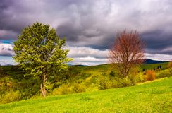 Two trees on a grassy slope in springtime Stock Images