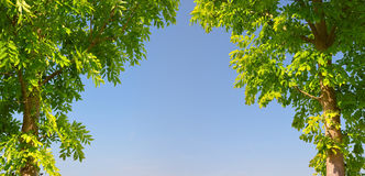 Two trees with green leaves Stock Image