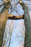 Two trees grown together, inosculation Stock Photography