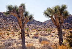 Two Trees Joshua Tree National Park Royalty Free Stock Photos
