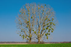 Two trees in the meadow Stock Photography