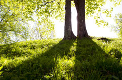 Two trees in the morning light royalty free stock image