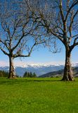 Two trees in mountains. Two dry trees in mountains (Switzerland Stock Images