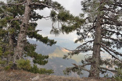 Two trees pine tree closeup on edge of mountain stock photos