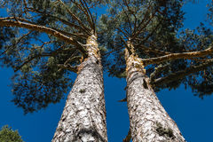 Two trees. Raising their glasses to the sky Royalty Free Stock Images