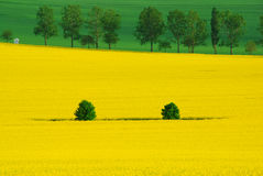 Two trees in rape Royalty Free Stock Photography