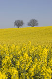 Two trees and rapeseed Stock Photography