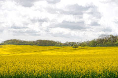 Two Trees in a Rapeseed Field Stock Photography