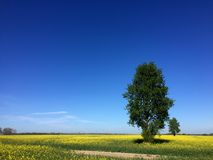 Two trees on rapeseed spring field landscape stock photo