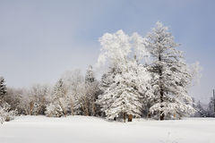 Two trees with rime Stock Photography