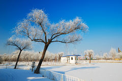 The two trees with rime in winter Royalty Free Stock Photos