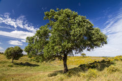 Two trees on the rural countryside royalty free stock image
