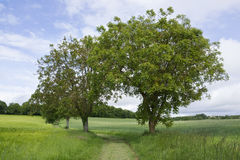 Two trees. Sharing their branches, standing over a footpath in a green grass field Royalty Free Stock Photography