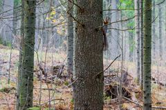 Two trees sit on the trunk of a big old spruce tree Stock Photo