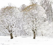 Two trees in snow Stock Photos