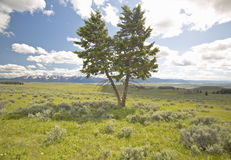 Two trees, spring grasslands and flowers in Centennial Valley near Lakeview, MT