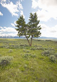 Two trees, spring grasslands and flowers in Centennial Valley near Lakeview, MT Royalty Free Stock Photos