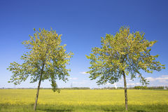 Two trees stading in front of a fresh yellow field Stock Images