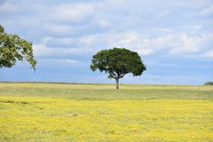 Two Trees standing in a Field covered in Yellow Flowers with a cloudy sky. Looking into a field of yellow flowers with scattered trees, and into the storm clouds Stock Photo