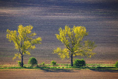 Two trees on summer day on field. Green leaves on trees in day light. Beautiful summer background Royalty Free Stock Photos