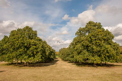 Two trees in summer Royalty Free Stock Photo