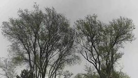 Two Trees Swaying In Wind. Two trees swaying together during a gusty blowing wind storm stock footage