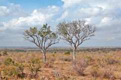 Two trees in the vastness of the Kruger National Park, South Africa Stock Images