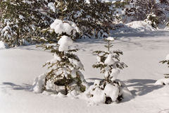 Two trees in winter. Two snow covered trees in the winter time Stock Photography