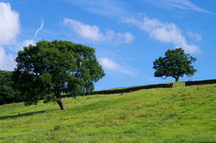 Two Trees in a Yorkshire Field stock images