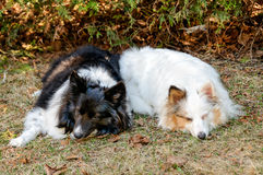 Two tri-color shetland sheepdog sleeping Stock Photos