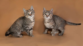 Two tricolor kitten sitting on brown Stock Photo