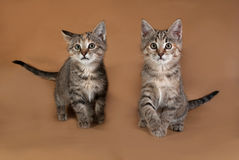 Two tricolor striped kitten standing on brown Royalty Free Stock Photography