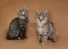 Two tricolor striped kitten standing on brown Royalty Free Stock Image