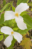 Two Trilliums in a Forest. A close up of two trilliums in a forest in Barrie, Ontario Royalty Free Stock Photos