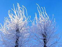 Two trimmed poplars. In winter with a sun-lit top royalty free stock image
