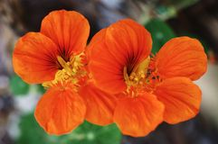 Two tropaeolum Stock Image