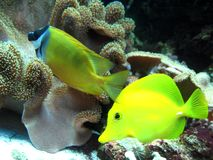 Two tropical fishes. Under water Stock Image