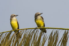 Two Tropical Kingbirds Royalty Free Stock Photography