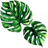 Two tropical large green leaf of exotic monstera isolated, watercolor illustration on white Royalty Free Stock Image