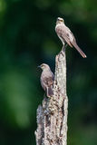 Two Tropical Mockingbirds on the look-out Stock Photo