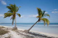 Two tropical palm trees on a beach. Green tropical palm trees on a beach near blue water and a blue sky in a background stock photo